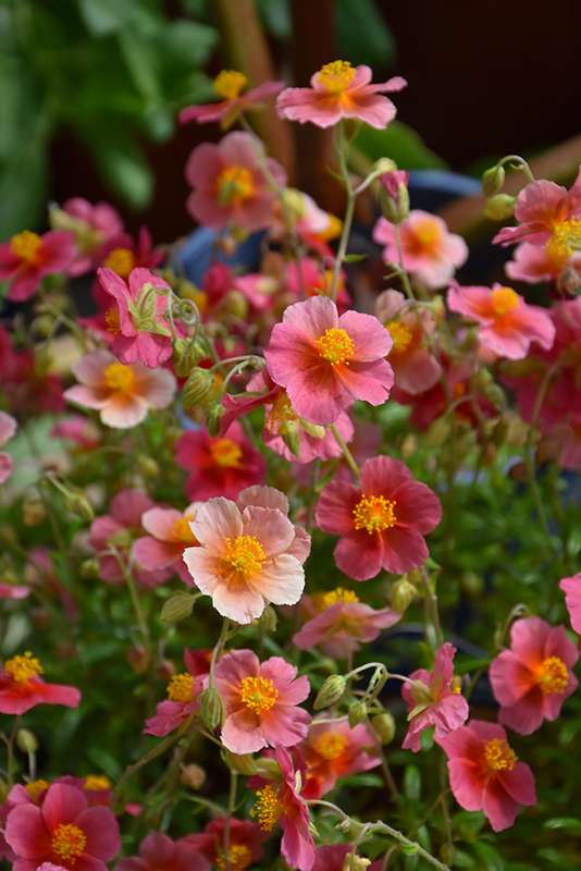 Ben Ledi Rock Rose (Helianthemum 'Ben Ledi') at Wolf Hill Home & Garden