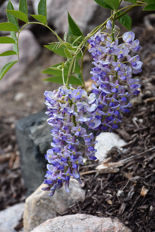 Blue Moon Wisteria (Wisteria macrostachya 'Blue Moon') at Wolf Hill Home & Garden