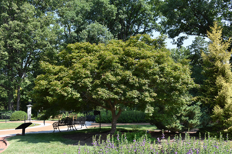 Trompenburg Japanese Maple (Acer palmatum 'Trompenburg') at Wolf Hill Home & Garden