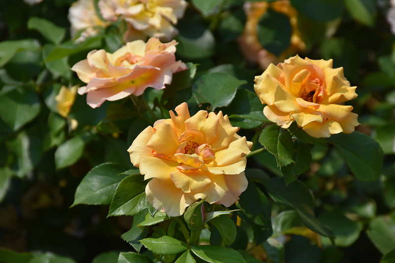 Tequila Supreme Rose (Rosa 'Meikokan') at Wolf Hill Home & Garden