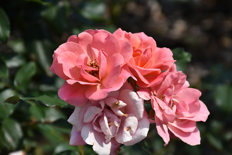 Coral Knock Out Rose (Rosa 'Coral Knock Out') at Wolf Hill Home & Garden