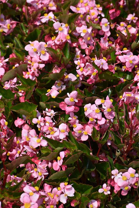 BabyWing Pink Begonia (Begonia 'BabyWing Pink') at Wolf Hill Home & Garden