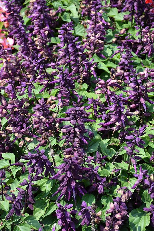 Vista Purple Sage (Salvia splendens 'PAS3292') at Wolf Hill Home & Garden