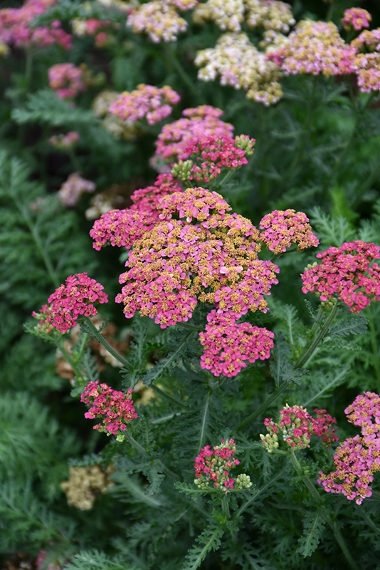 Sassy Summer Taffy Yarrow (Achillea 'Sassy Summer Taffy') at Wolf Hill Home & Garden