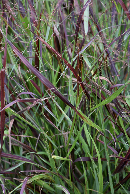 Cheyenne Sky Switch Grass (Panicum virgatum 'Cheyenne Sky') at Wolf Hill Home & Garden