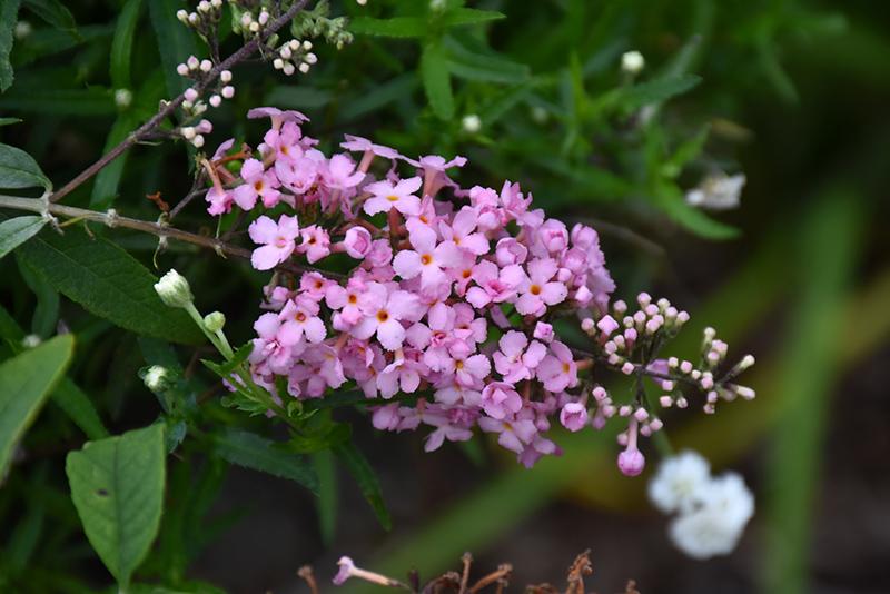 Pink Cascade Butterfly Bush (Buddleia 'Pink Cascade') at Wolf Hill Home & Garden