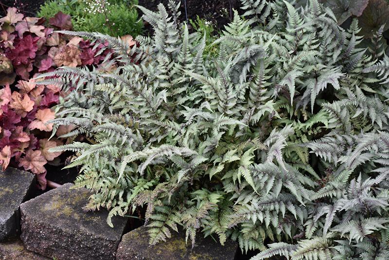 Japanese Painted Fern (Athyrium nipponicum 'Pictum') at Wolf Hill Home & Garden