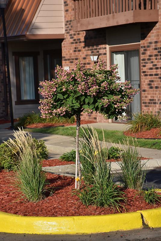 Quick Fire Hydrangea (tree form) (Hydrangea paniculata 'Bulk') at Wolf Hill Home & Garden