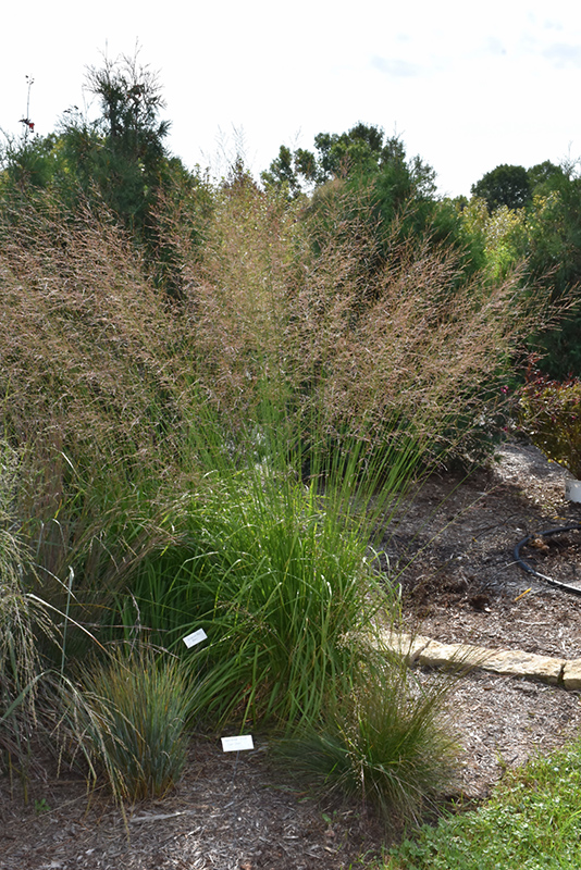 Skyracer Moor Grass (Molinia caerulea 'Skyracer') at Wolf Hill Home & Garden
