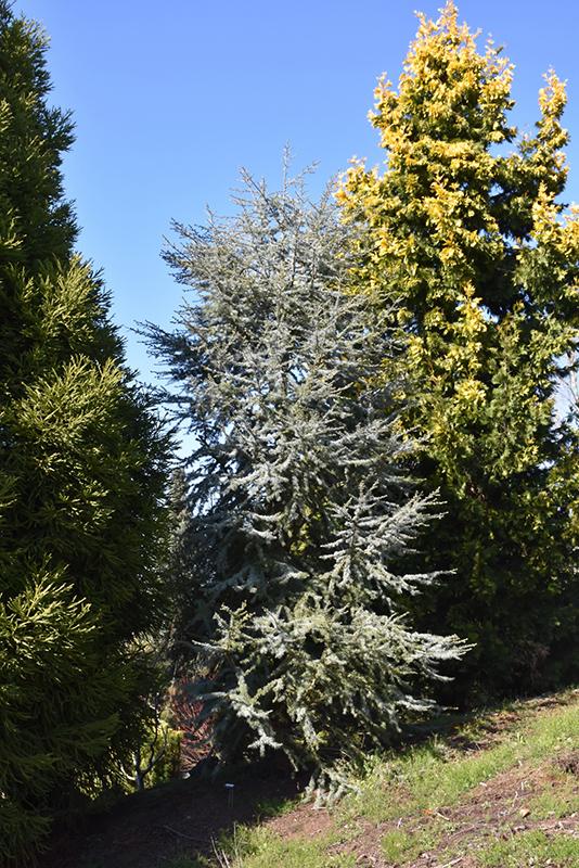 Horstmann Blue Atlas Cedar (Cedrus atlantica 'Horstmann') at Wolf Hill Home & Garden