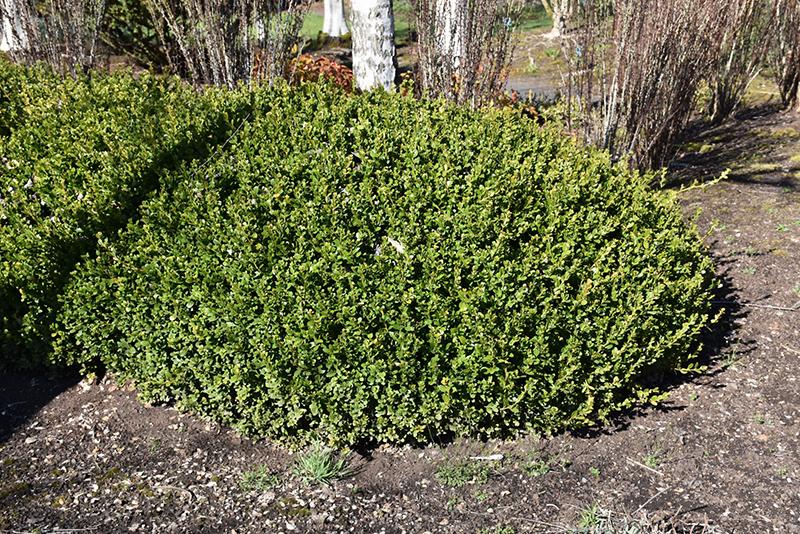 Winter Gem Boxwood (Buxus microphylla 'Winter Gem') at Wolf Hill Home & Garden