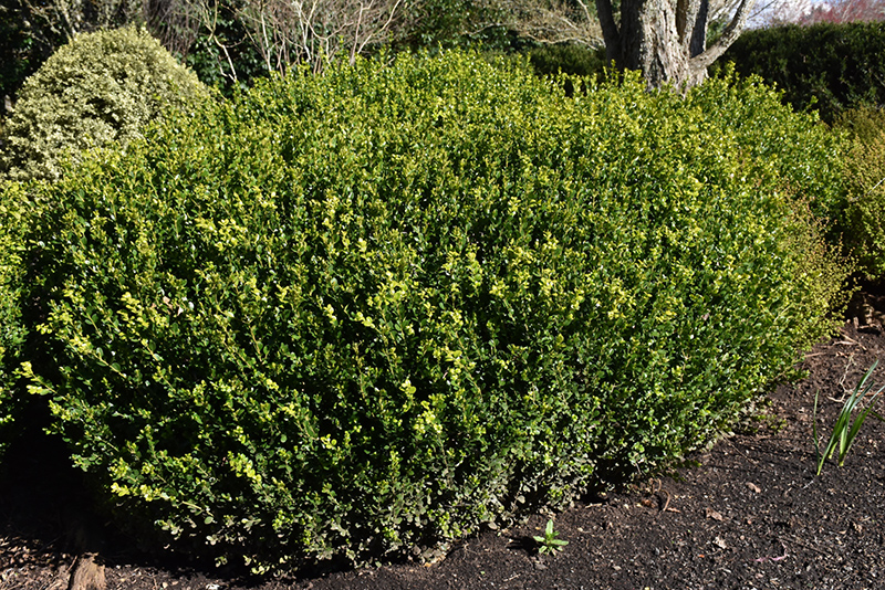 Green Beauty Boxwood (Buxus 'Green Beauty') at Wolf Hill Home & Garden