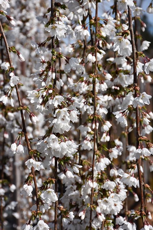 Snow Fountains Yoshino Cherry (Prunus 'Snow Fountains') at Wolf Hill Home & Garden
