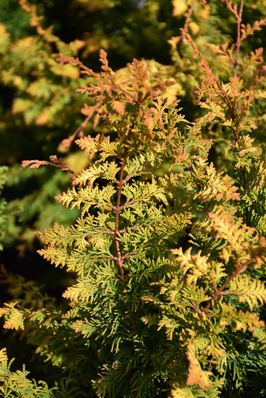 Fernspray Gold Falsecypress (Chamaecyparis obtusa 'Fernspray Gold') at Wolf Hill Home & Garden