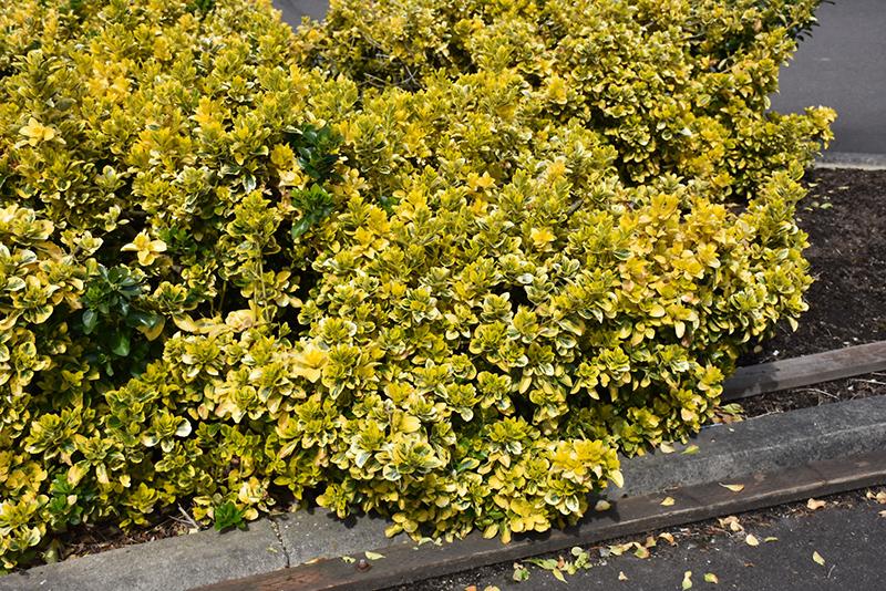 Gold Variegated Japanese Euonymus (Euonymus japonicus 'Aureomarginatus') at Wolf Hill Home & Garden