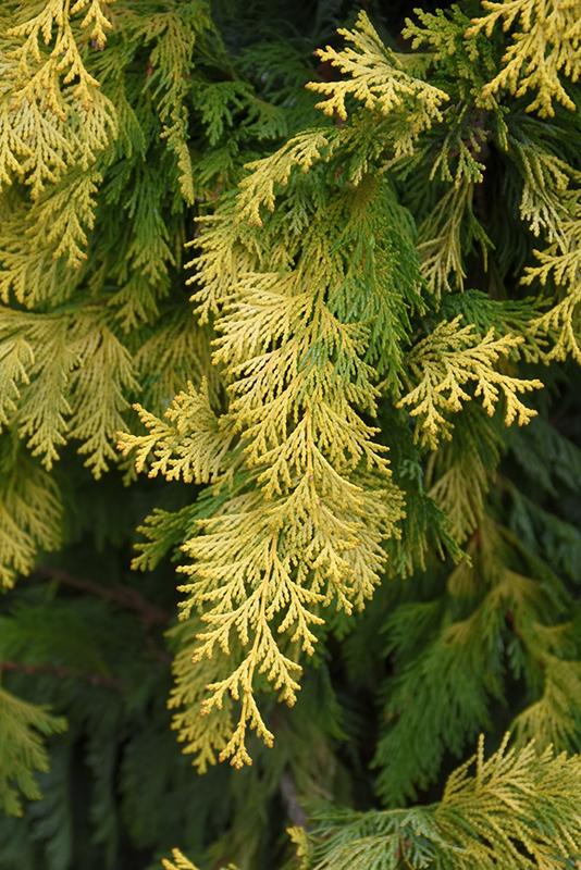 Cripps Gold Falsecypress (Chamaecyparis obtusa 'Crippsii') at Wolf Hill Home & Garden