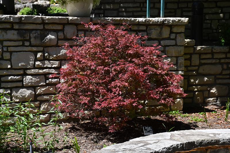Shaina Japanese Maple (Acer palmatum 'Shaina') at Wolf Hill Home & Garden