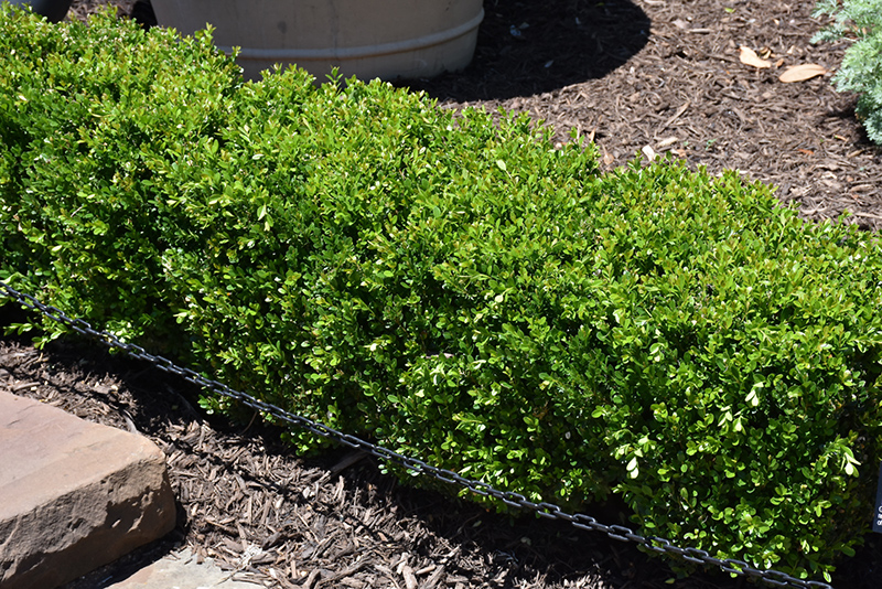 Baby Gem Boxwood (Buxus microphylla 'Gregem') at Wolf Hill Home & Garden