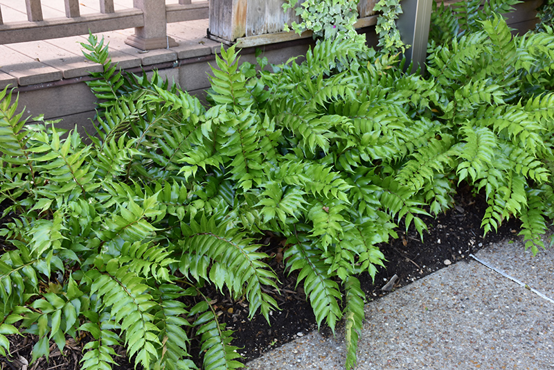 Japanese Holly Fern (Cyrtomium falcatum) at Wolf Hill Home & Garden