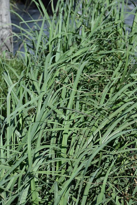 Lemon Grass (Cymbopogon citratus) at Wolf Hill Home & Garden