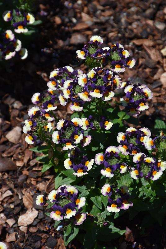 Honey Bicolor Orange Flame Nemesia (Nemesia 'Honey Bicolor Orange Flame') at Wolf Hill Home & Garden