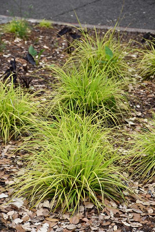 EverColor Everillo Japanese Sedge (Carex oshimensis 'Everillo') at Wolf Hill Home & Garden