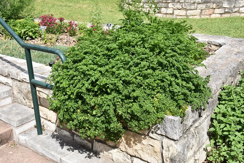 Parsley (Petroselinum crispum) at Wolf Hill Home & Garden