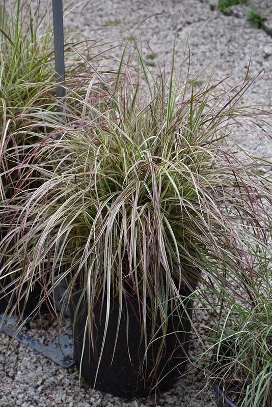 Cherry Sparkler Fountain Grass (Pennisetum setaceum 'Cherry Sparkler') at Wolf Hill Home & Garden