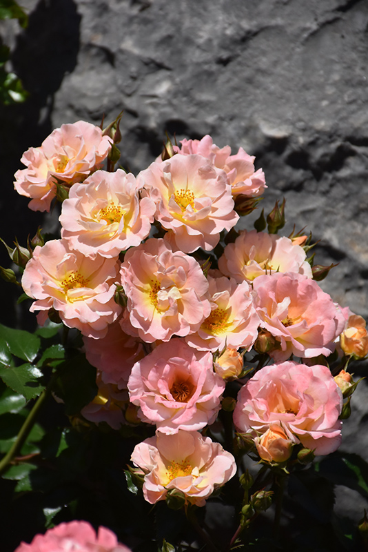 Peach Drift Rose (Rosa 'Meiggili') at Wolf Hill Home & Garden