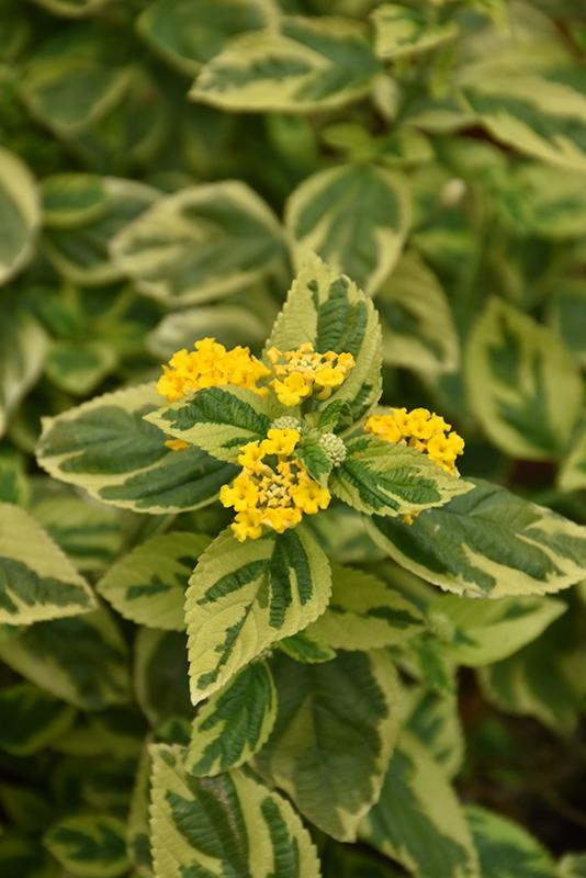 Yellow Variegated Lantana (Lantana camara 'Yellow Variegated') at Wolf Hill Home & Garden