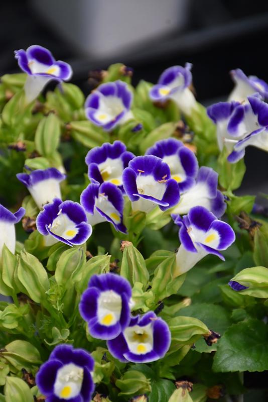 Kauai Deep Blue Torenia (Torenia 'PAS786690') at Wolf Hill Home & Garden