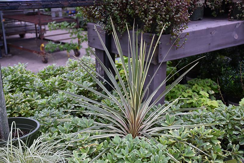 Torbay Dazzler Grass Palm (Cordyline australis 'Torbay Dazzler') at Wolf Hill Home & Garden