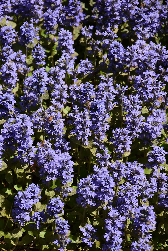 Common Bugleweed (Ajuga reptans) at Wolf Hill Home & Garden