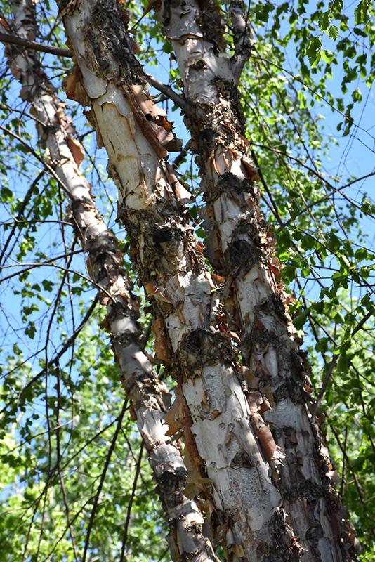 Northern Tribute River Birch (Betula nigra 'Dickinson') at Wolf Hill Home & Garden