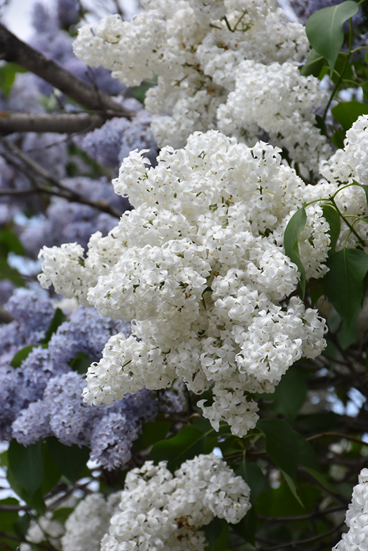 White French Lilac (Syringa vulgaris 'Alba') at Wolf Hill Home & Garden