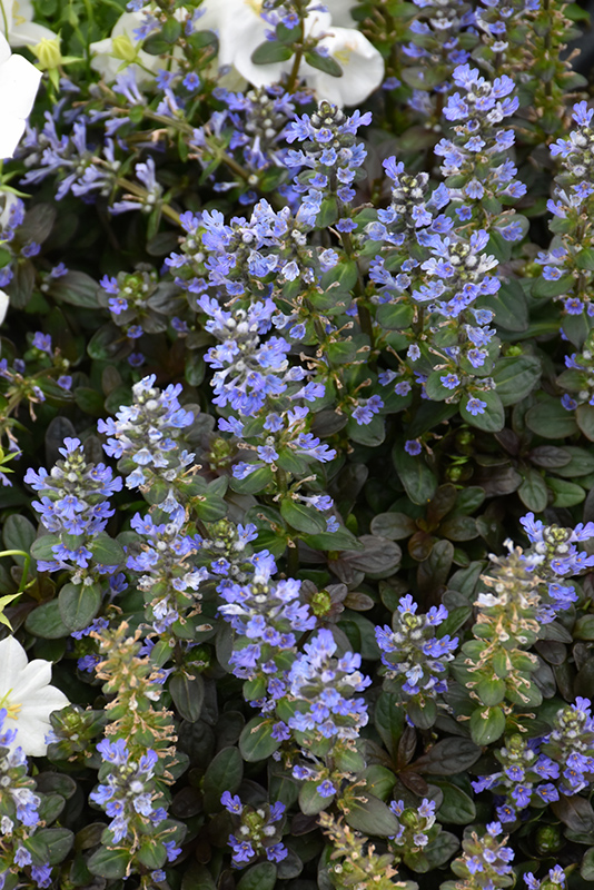 Chocolate Chip Bugleweed (Ajuga reptans 'Chocolate Chip') at Wolf Hill Home & Garden