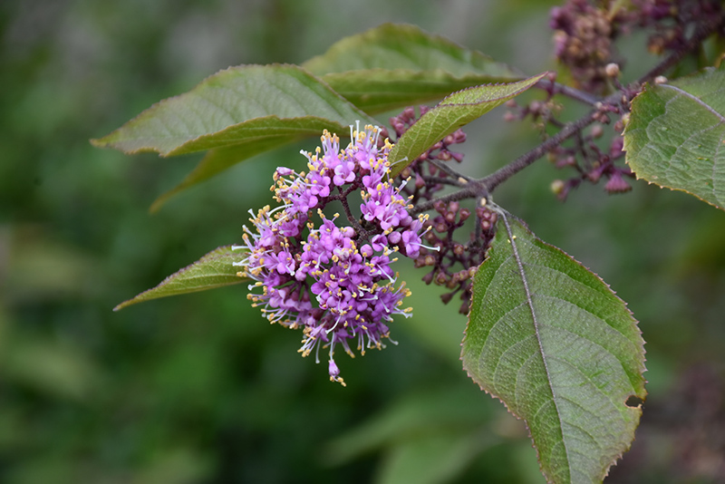 Profusion Beautyberry (Callicarpa bodinieri 'Profusion') at Wolf Hill Home & Garden