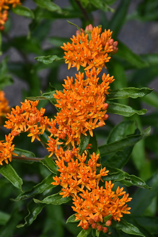 Butterfly Weed (Asclepias tuberosa) at Wolf Hill Home & Garden