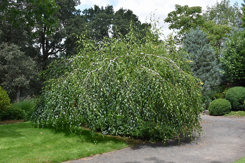 Young's Weeping Birch (Betula pendula 'Youngii') at Wolf Hill Home & Garden
