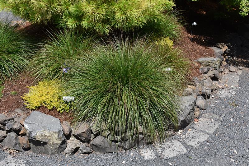 Burgundy Bunny Dwarf Fountain Grass (Pennisetum alopecuroides 'Burgundy Bunny') at Wolf Hill Home & Garden