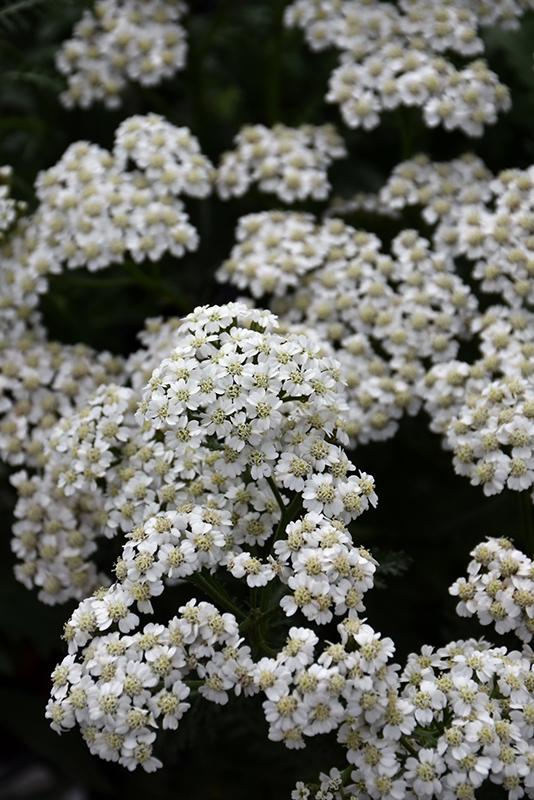 New Vintage White Yarrow (Achillea millefolium 'Balvinwite') at Wolf Hill Home & Garden