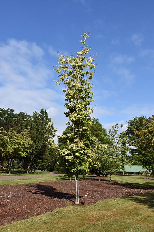 Celestial Shadow Flowering Dogwood (Cornus 'Celestial Shadow') at Wolf Hill Home & Garden