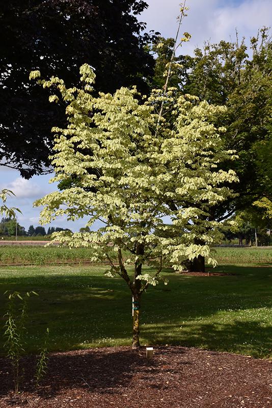 Samaritan Chinese Dogwood (Cornus kousa 'Samaritan') at Wolf Hill Home & Garden