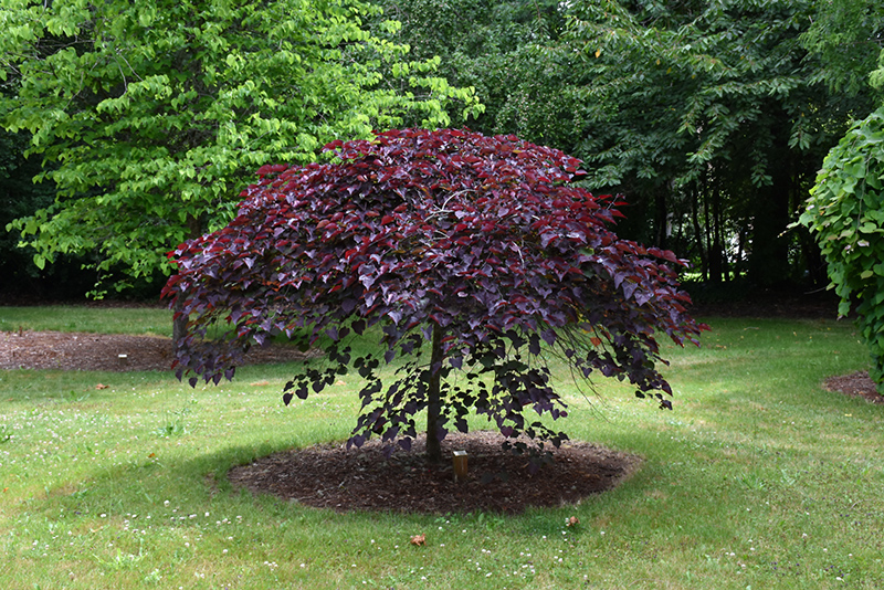 Ruby Falls Redbud (Cercis canadensis 'Ruby Falls') at Wolf Hill Home & Garden