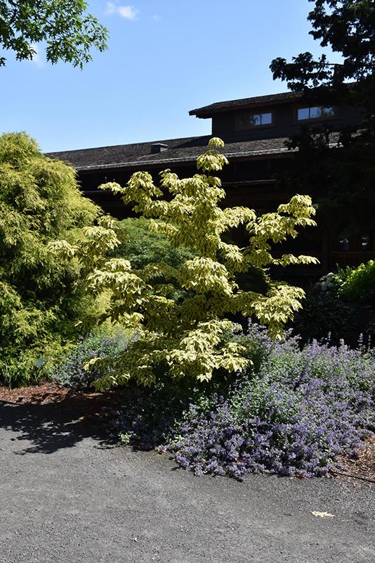 Summer Gold Chinese Dogwood (Cornus kousa 'Summer Gold') at Wolf Hill Home & Garden