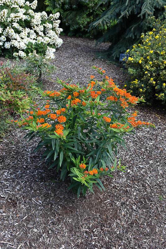 Gay Butterflies Butterfly Weed (Asclepias tuberosa 'Gay Butterflies') at Wolf Hill Home & Garden