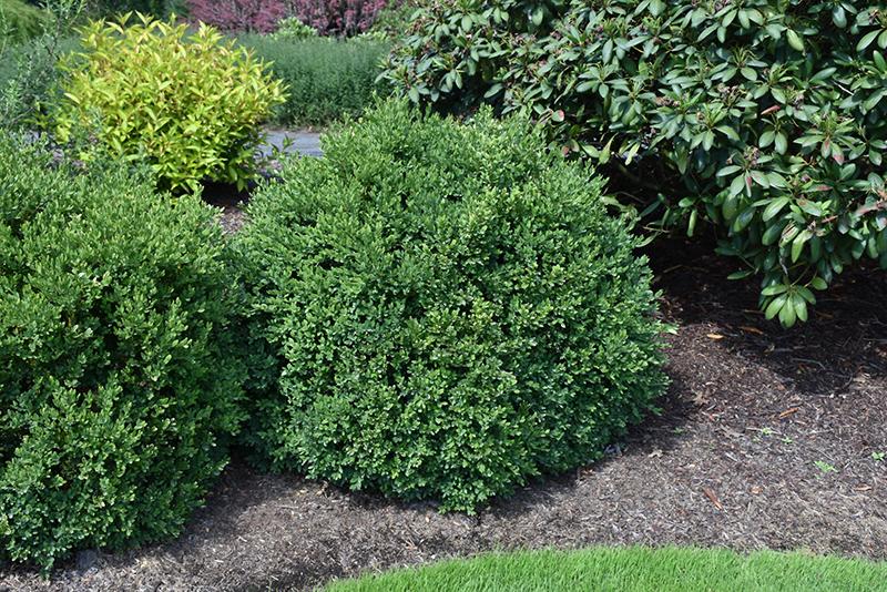 Green Velvet Boxwood (Buxus 'Green Velvet') at Wolf Hill Home & Garden