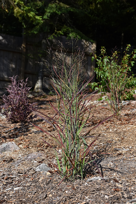 Hot Rod Switch Grass (Panicum virgatum 'Hot Rod') at Wolf Hill Home & Garden