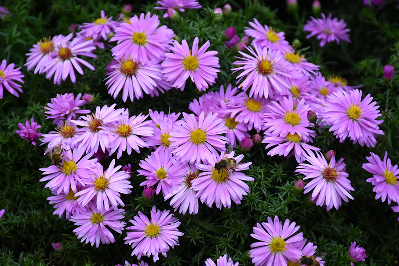 Woods Pink Aster (Aster 'Woods Pink') at Wolf Hill Home & Garden