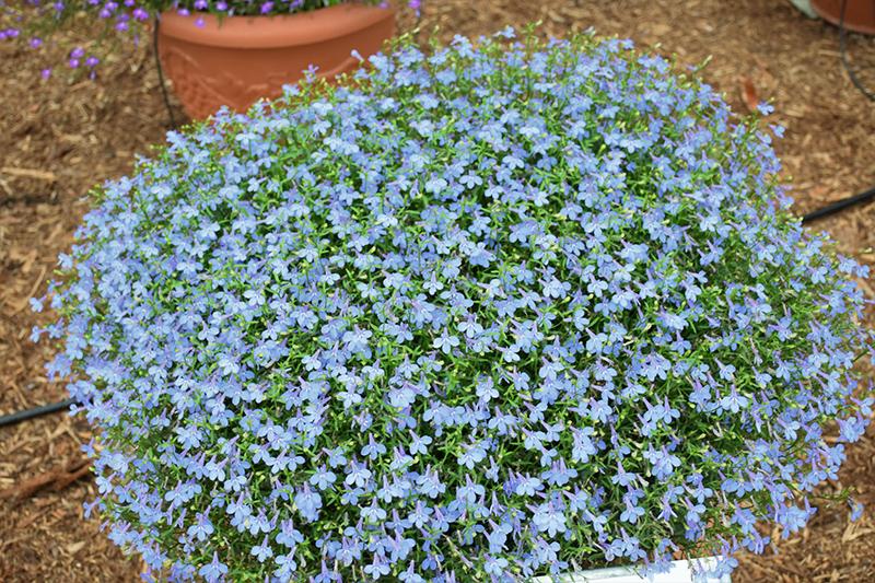 Hot Waterblue Lobelia (Lobelia 'Hot Waterblue') at Wolf Hill Home & Garden